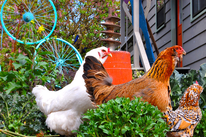 Chickens and art crafted from found objects make for a lively Georgetown garden.  Photo: Dan Corum