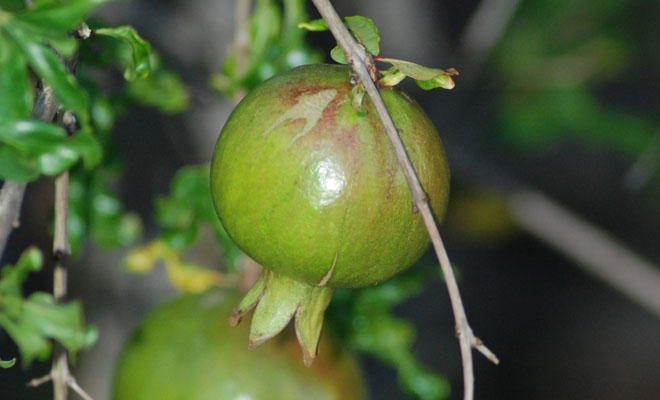 The young fruit of 'Ganesh' pomegranate, a popular variety from India. Photo: Meredith French