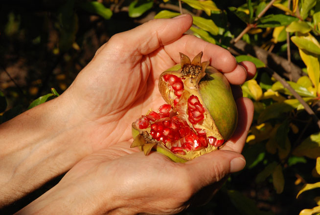 A ripe 'Ganesh' pomegranate with light-green skin and light-red arils. Photo: Meredith French