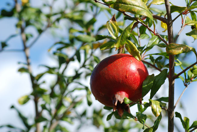 'Wonderful' is a popular and readily available variety of pomegranate. Photo: Meredith French