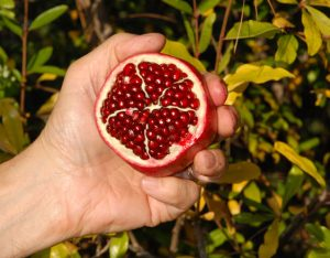 Cut off the top of a ripe fruit to reveal the spongy membranes. Photo: Meredith French