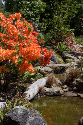 Rhododendron 'Mandarin Lights', a deciduous azalea, blazes in the spring sunshine along the creek. Photo: Sandy Scott