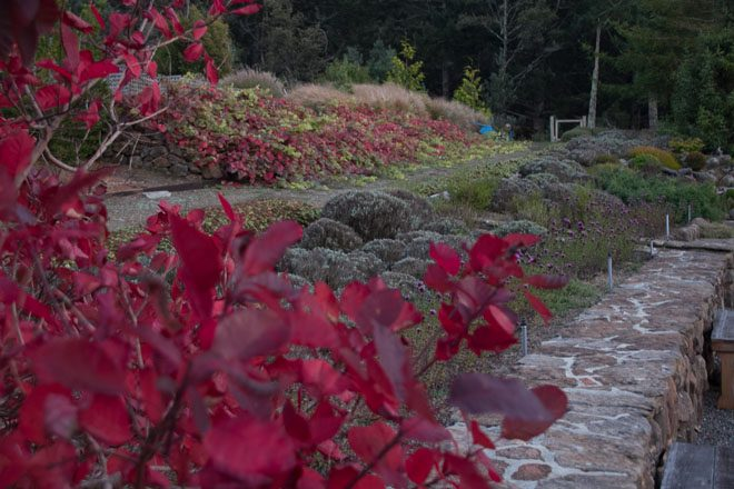 Fall brings out the fire in Cotinus 'Grace' (foreground) and Vitis 'Roger's Red' on the hillside in the background. Photo: Sandy Scott
