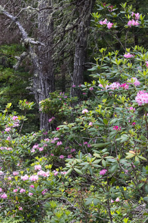 Coast rhododendron (Rhododendron macrophyllum) and other western natives carpet the forest floor. Photo: Sandy Scott