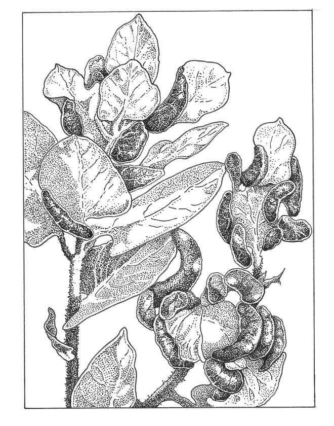 Manzanita leaf gall Illustration: Craig Latker