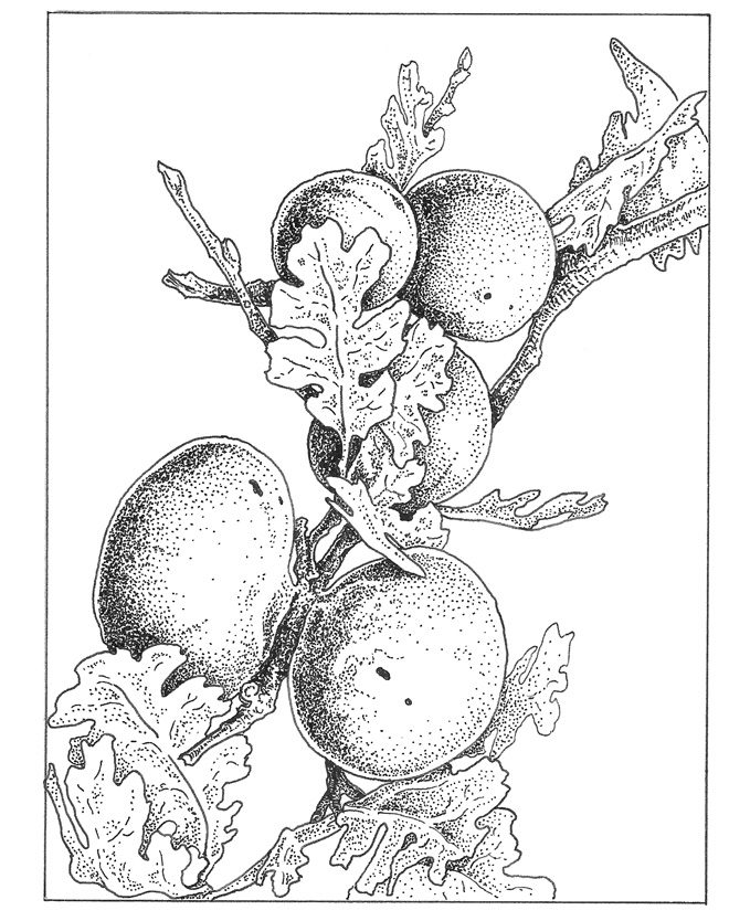 California oak gall Illustration: Craig Latker