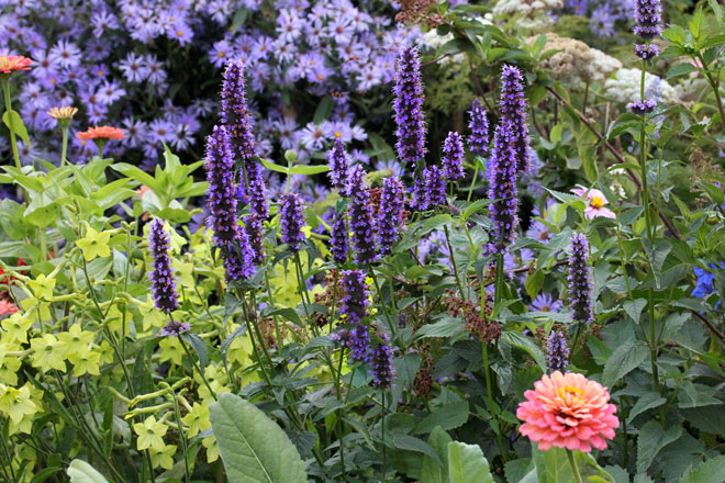 Agastache 'Black Adder' is a beautiful—and delicious—addition to the garden. Photo: courtesy Annie's Annuals.