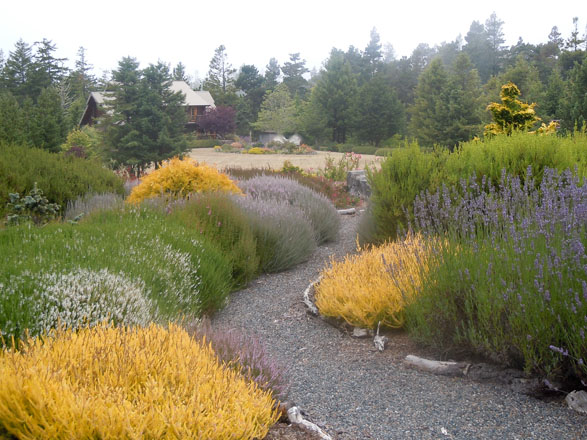 A view towards the house from the top of the slope with lavender, heaths, and heathers; note the dormant tan lawn near the house. Photo: Sandy Scott