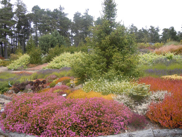 Heaths and heathers thrive in the garden's cool climate and provide foliage color and blossoms throughout the year. Photo: Sandy Scott