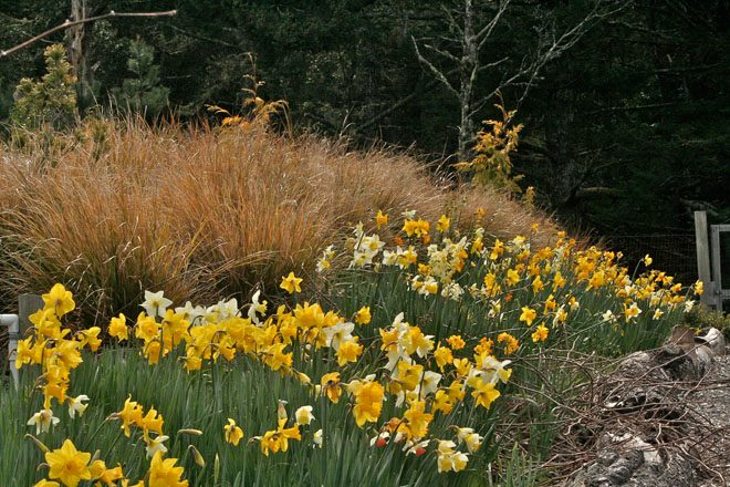 Great swathes of naturalized daffodils on the hillside put on show in spring. Photo: Sandy Scott