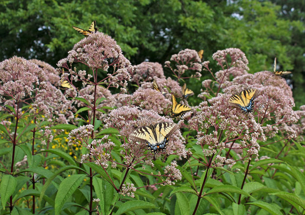 Many native plants such as Joe Pye weed provide plentiful nectar and will help attract butterflies to your garden.  Photo: Debbie Ross