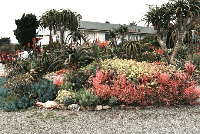 Stacy Peralta's front yard at his seaside cottage in Cayucos is home to his aloe collection along with other resilient and colorful succulents.  Photo: Mary Dodder McCorkle