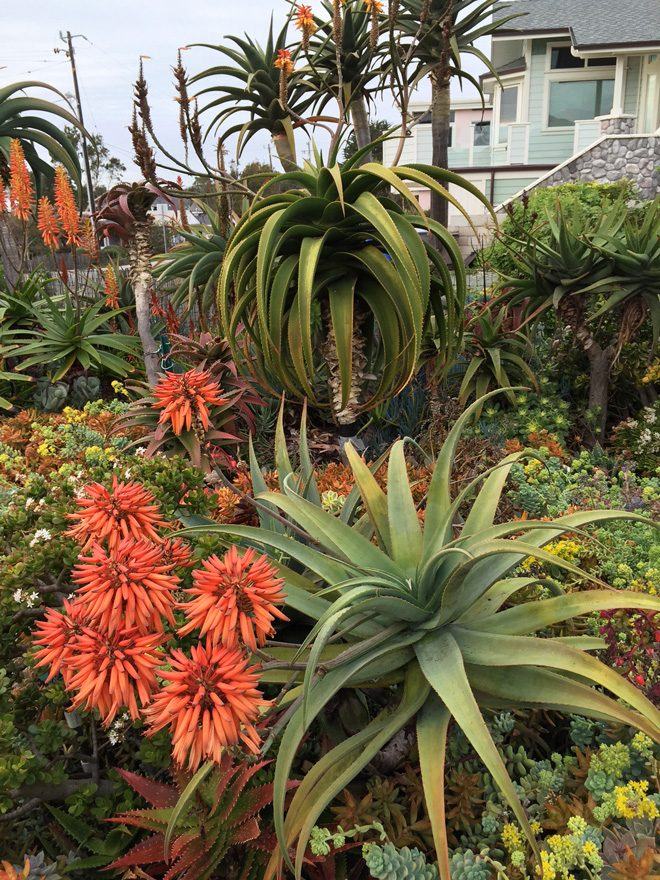 Showy aloe blossoms brighten up the winter garden.  Photo: Mary Dodder McCorkle