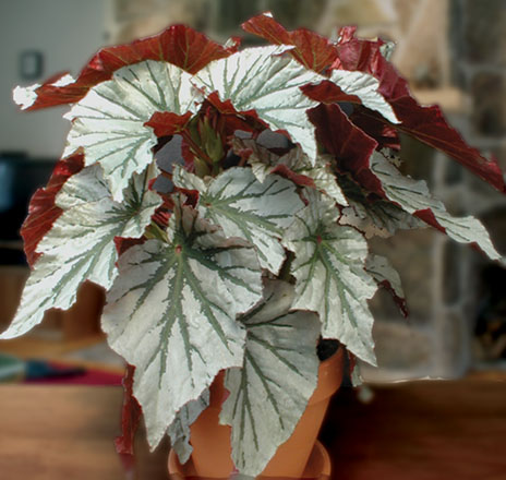 Begonia 'Looking Glass'  Photo: courtesy of Logee's