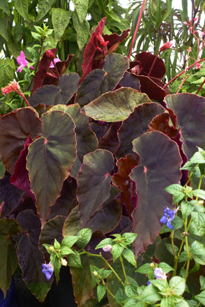 Begonia 'Gene Daniels' Photo: Annie's Annuals and Perennials