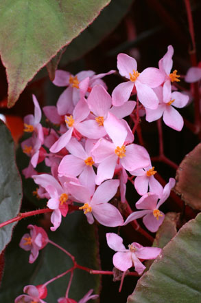 Shrub form Begonia 'Gene Daniels' bloom detail. Photo: Annie's Annuals & Perennials
