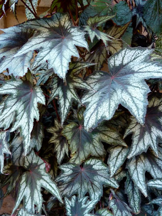 Detail of silvery, star-shaped leaves on Begonia 'Little Brother Montgomery'.  Photo: Annie's Annuals & Perennials