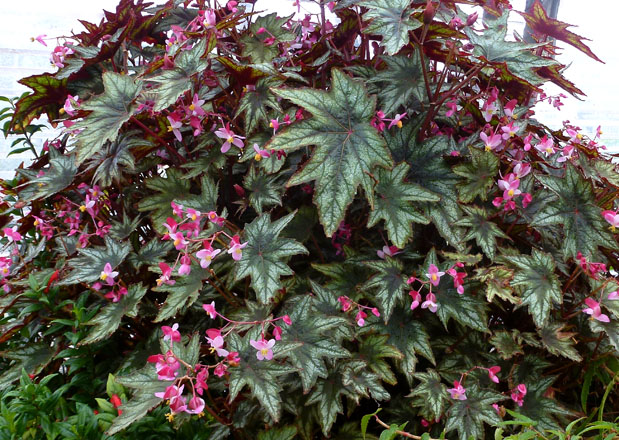 Begonia 'Little Brother Montgomery' is a real showstopper.  Photo: Annie's Annuals & Perennials