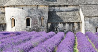 Lavender in Provence. Photo: Shutterstock