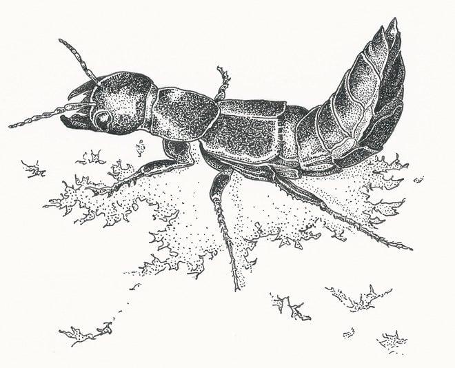 Devil's Coach Horse (Ocypus olens) Illustration: Craig Latker