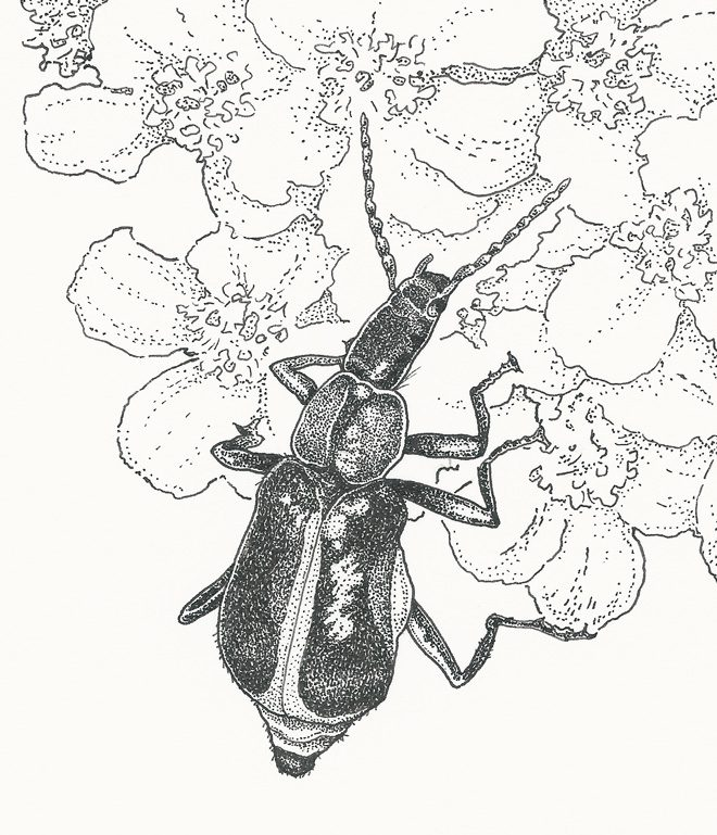 Tanaops longiceps, a member of the Soft-winged Flower Beetle family. Illustration: Craig Latker