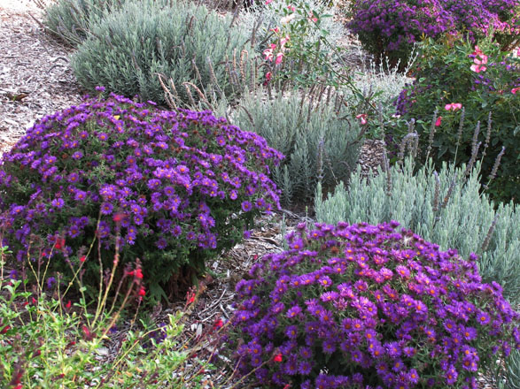 The WUCOLS IV database classifies Symphyotrichum novae-angliae 'Purple Dome' as a medium water use perennial for California's North-Central Coastal, Central Valley, South Coastal, and South Inland regions. Photo: UC Davis Arboretum and Public Garden, Ellen Zagory