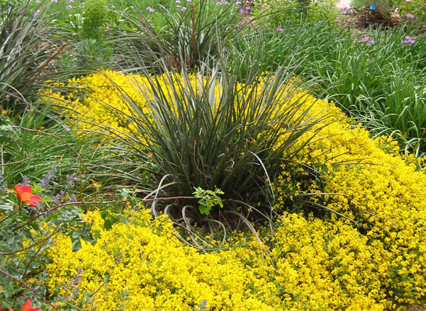 Astelia nervosa is classified as a medium water use perennial in coastal regions but is untested or not recommended for hot inland gardens. Here the plant is paired with Genista lydia that has similar water requirements. Photo: UC Davis Arboretum and Public Garden, Ellen Zagory