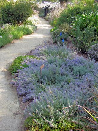 Nepeta x faassenii. Photo: UC Davis Arboretum and Public Garden, Ellen Zagory