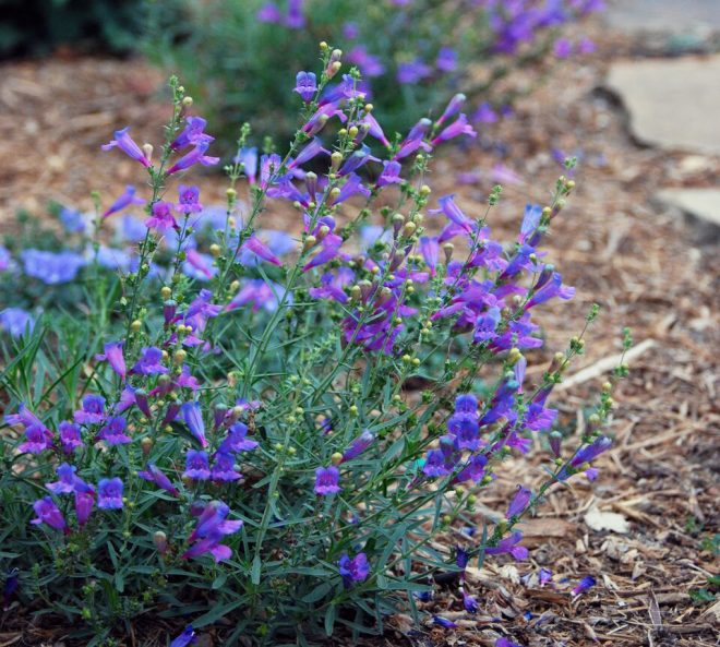 Penstemon heterophyllus 'Margarita BOP' is a beautiful and resilient plant adapted to dry conditions. Photo: Urban Water Group