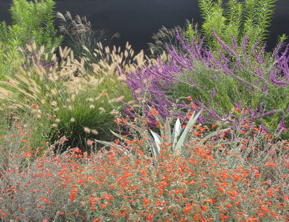 This colorful combination of Pennisetum alopecuroides 'Hamlen', Epilobium, and Salvia leucantha are good low water use companions for Agave americana. Photo: UC Davis Arboretum and Public Garden, Ellen Zagory