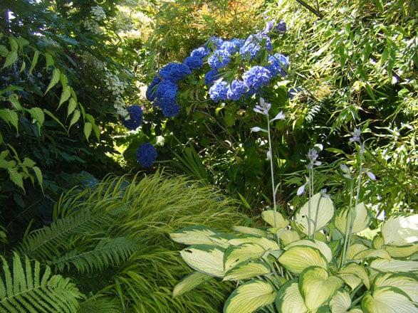 This pleasing shade garden composition of hydrangea, hosta, ferns, and golden Japanese forest grass (Hakonechloa macra 'Aureloa') appreciates good soil and even moisture throughout the growing season.  Photo: Deborah Phare