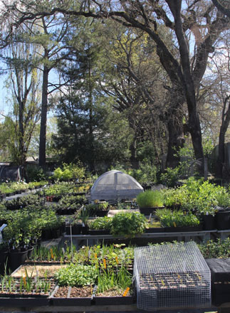 A beautiful canopy of native oaks shelter the tidy nursery. Photo: Jennifer Jewell