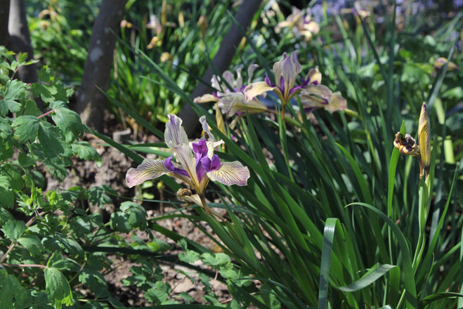 Iris 'Sebastopol' is a Pacific Coast Hybrid selected by Phil Van Soelen. Photo: Jennifer Jewell