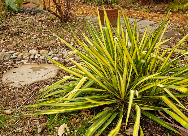 Yucca filamentosa 'Golden Sword' provides striking year-round color and form without supplemental irrigation.  Photo: Terri Johnson