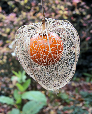 Physalis alkekengi Photo: Rasbak/Wikimedia Commons