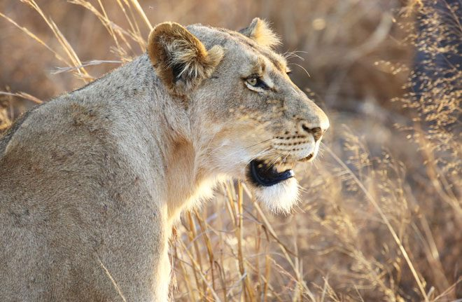 A lioness sits in the tall grass of Kruger National Park, South Africa. Photo: iStock/Goddard Photography