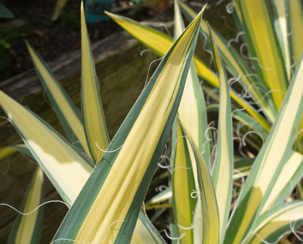 Yucca filamentosa 'Color Guard' Photo: Darcy Daniels/eGardenGo