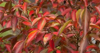Fall color on Stewartia monadelpha. Photo: Darcy Daniels/eGardenGo