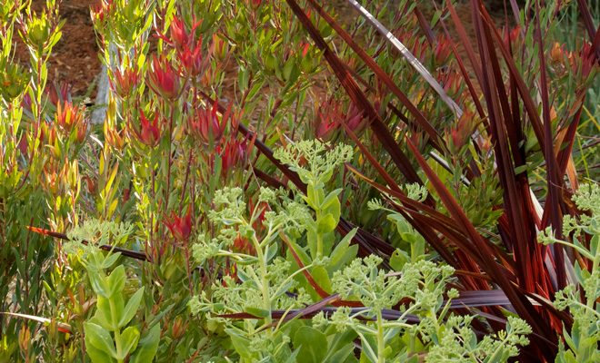 Leucodendron salignum 'Winter Red', Cordyline Festival Grass™, and Sedum spectabile 'Autumn Joy'. Photo: Jude Parkinson-Morgan
