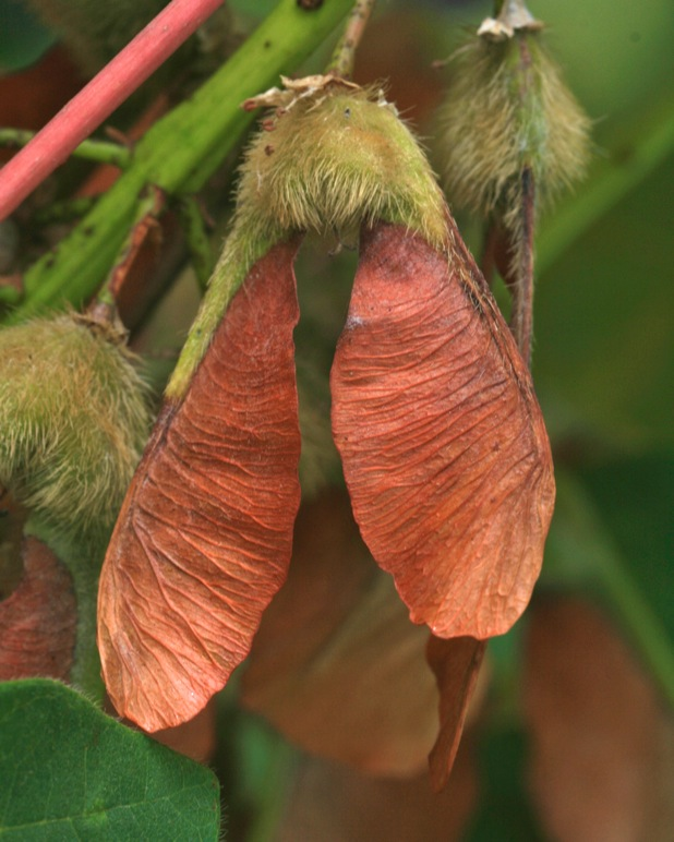 Bigleaf maple (Acer macrophyllum) seeds are contained within propeller-like samaras that help distribute ripe seed. Photo: Jennifer Jewell