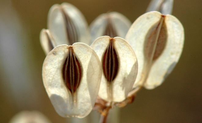 Luminous individual wafer-like seeds of a Lomatium seedhead. Photo: John Whittlesey