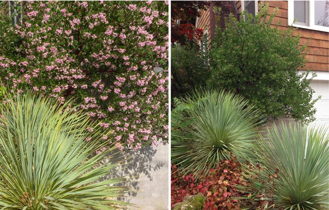 Yucca rostrata and a blooming manzanita shine in winter (left), and still look beautiful in fall (left). Photos: Darcy Daniels/eGardenGo