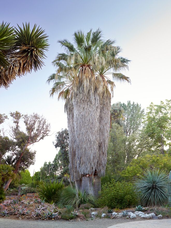 A trio of desert fan palms (Washingtonia filifera) in the Ruth Bancroft Garden. Photo: Marion Brenner
