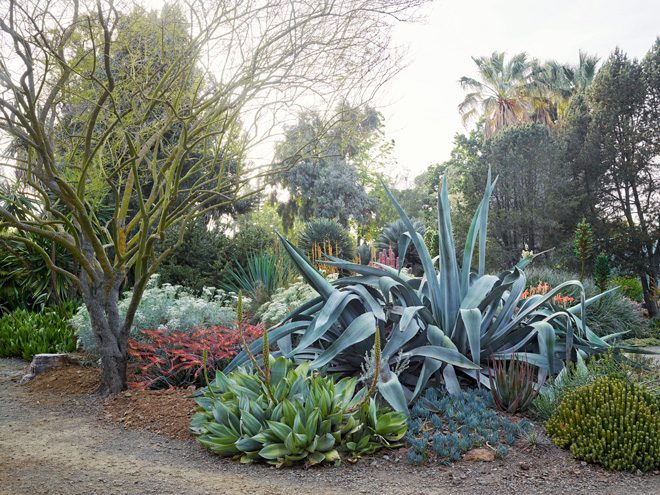 A giant clump of blue Agave americana (A. rasconensis) behind the smaller green Agave mitis var. albidior. 