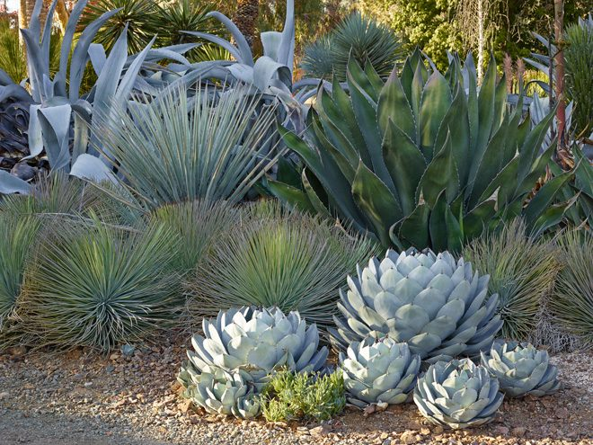 Back to front: Agave franzosinii, Yucca baccata, A. salmiana var. crassispina, A. striata, and A. parryi var. truncata. 