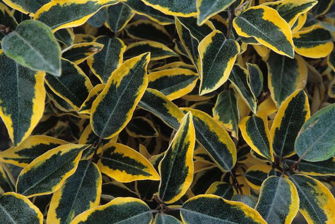 Elaeagnus ×ebbingei 'Gilt Edge'