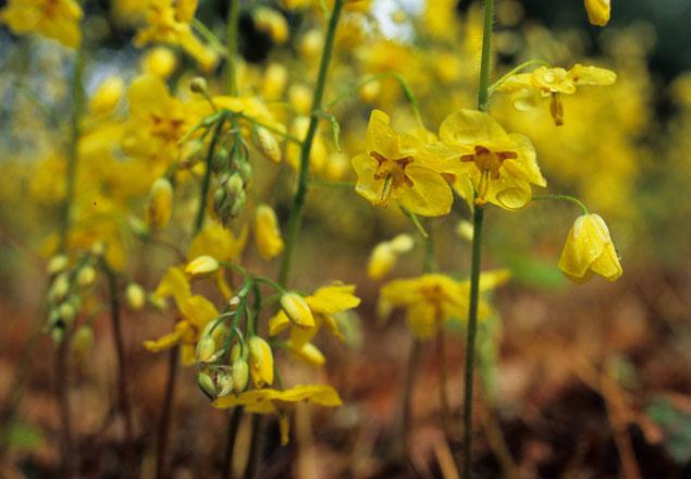 Epimedium ×perralchicum