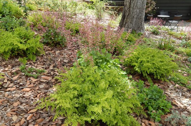 Southern maidenhair fern (Adiantum capillus-veneris) and island alum root (Heuchera maxima) thrive in the challenging conditions beneath the giant evergreen oak. Photo: Earl Nickel