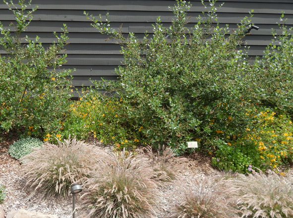 Drought-tolerant, sun-loving California natives planted beneath the deck on the southwest side of the building include Ceanothus 'Ray Hartman' underplanted with Mimulus 'Jelly Bean Gold' and Calamagrostis foliosa. Photo: Earl Nickel