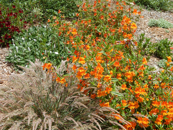 Swathes of hybrid Mimulus add brilliant color and fill in between the young plants. Photos: Earl Nickel